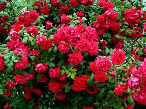 Купить розы в садовом центре